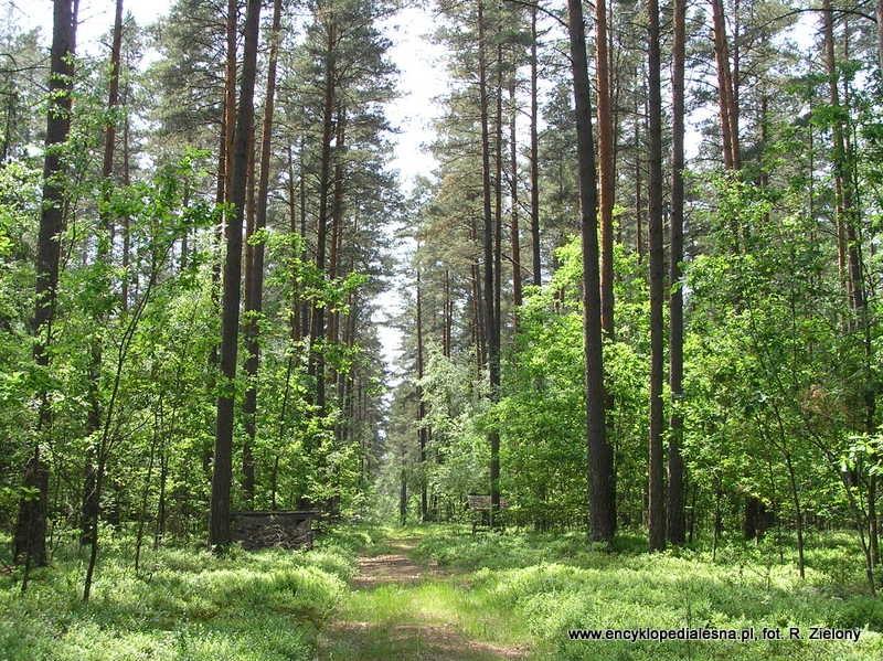 https://www.encyklopedialesna.pl/foto/hasla/0/0/bmsw_1_bor_mieszany_swiezy_p_augostowska__Vi_2011__fot._r._zielony.jpg